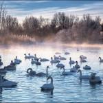 Vẻ đẹp kỳ ảo của vào mùa đông chết tại hồ thiên nga