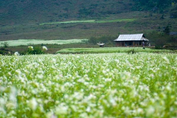 Hoa cải ở Mộc Châu