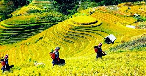 Những cô gái Dao duyên dáng bên những cánh đồng lúa chín vàng