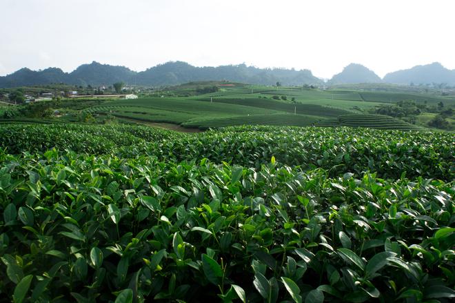Nông trường chè Mộc Châu