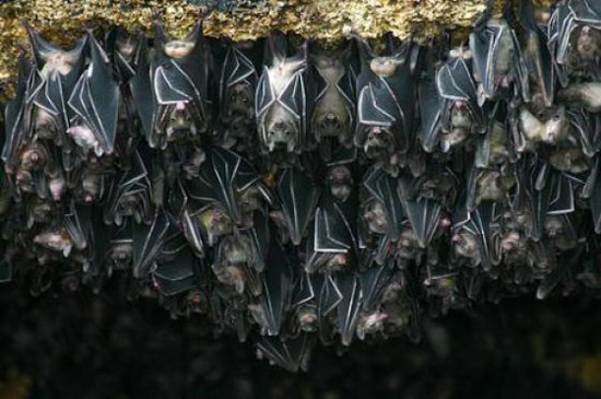 Những chú dơi đậu trong hang